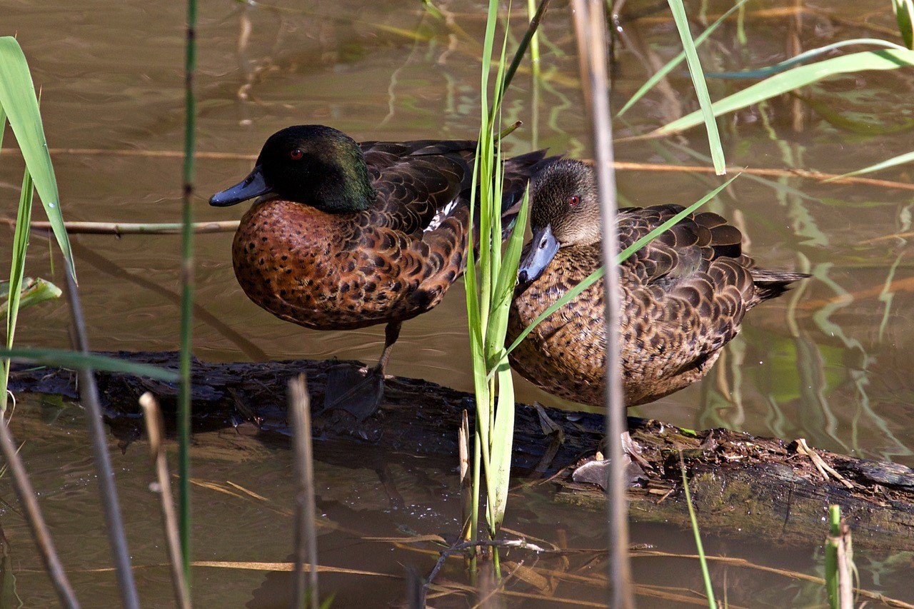 Chestnut Teal (male and female)