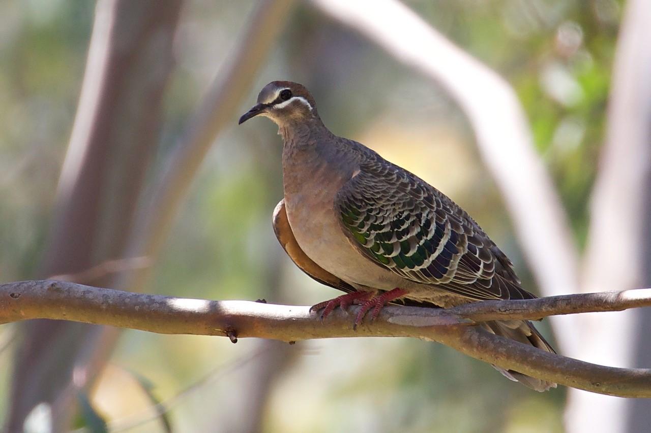 Common Bronzewing - Eleanor Dilley