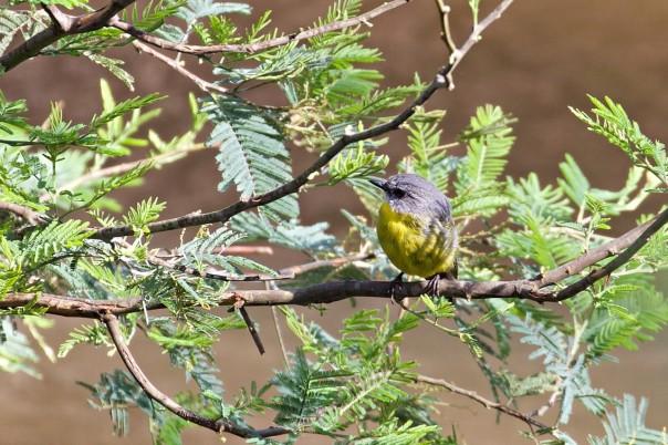 Eastern Yellow Robin - Eleanor Dilley
