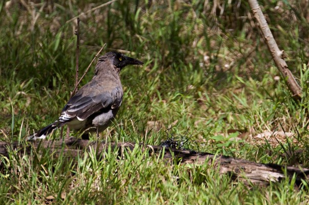 Grey Currawong - Eleanor Dilley