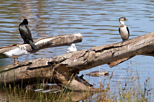 Little Black Little Pied Cormorants - Eleanor Dilley