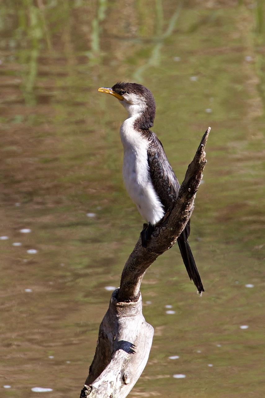 Little Pied Cormorant - Eleanor Dilley
