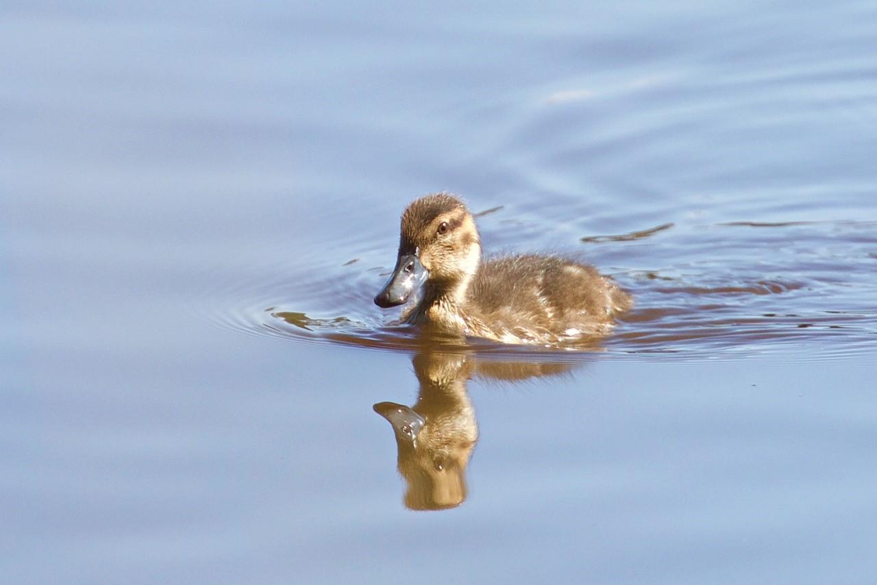 Pacific Black Duckling - Eleanor Dilley