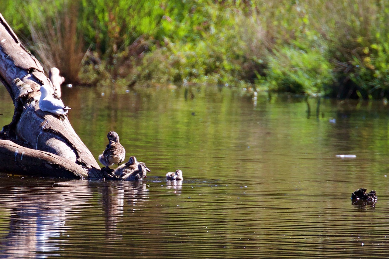 Pink-eared Duck with chicks - Eleanor Dilley