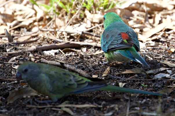 Red-rumped Parrots f and m - Eleanor Dilley