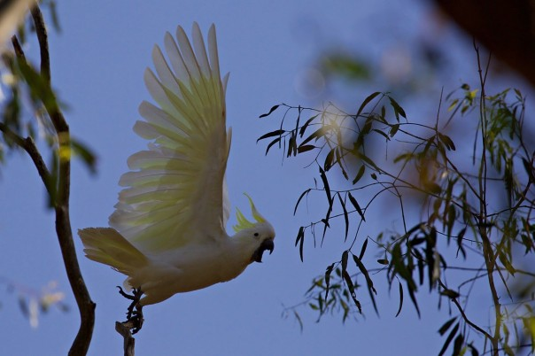 Sulphur-crested Cockatoo - Eleanor Dilley