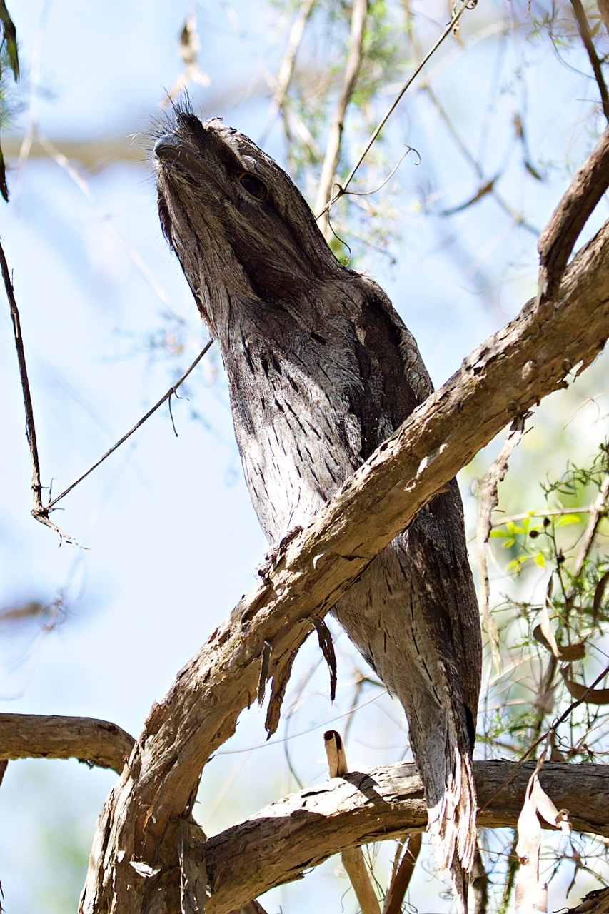 Tawny Frogmouth - Eleanor Dilley