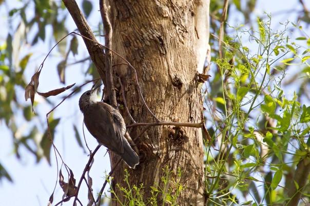 White-throated Treecreeper - Eleanor Dilley